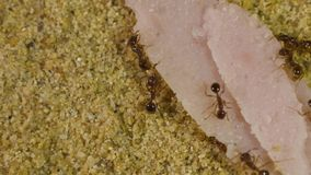 Ants in formicarium stock video