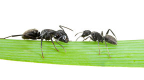 Ants on grass isolated Stock Photos