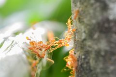 Ants on green leaves and eat food. On a tree royalty free stock photography