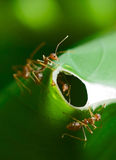 Ants Guarding Nest Royalty Free Stock Photos