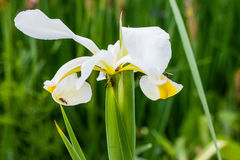 Ants are hard at work on another white iris Stock Images