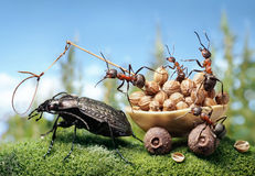 Ants harnessing the bug, ant tales. Team of ants harnessing the bug, ant tales Stock Photography