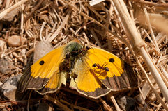 Ants harvesting a dead clouded yellow butterfly Colias croceus in an arid field Royalty Free Stock Photography