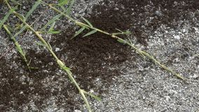 The ants have found a loot to eat. In large groups have been activated to do a team work and transport their treasure inside the anthill stock footage