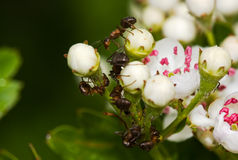 Ants on Hawthorn Stock Photography