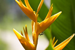 Ants on Heliconia Stock Photo