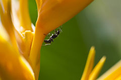 Ants on Heliconia Closeup II Royalty Free Stock Photography