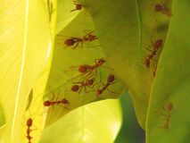 Ants help build their new nest on young leaves of the mango tree. A red ant fire ant, Solenopsis geminate Royalty Free Stock Photos