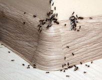 Ants in the house Royalty Free Stock Images