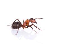 Ants. Isolated on white background royalty free stock photo