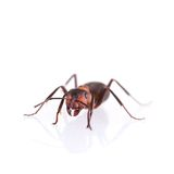 Ants. Isolated on white background royalty free stock images