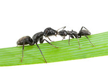 Ants kiss. Macro of two touching ants on grass blade isolated on white Stock Photography