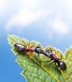 Ants kissing on leaf under blue sky. Kissing ants on leaf under blue sky royalty free stock images