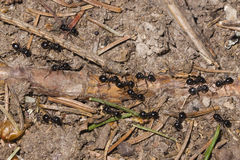 Ants lasius nigra trail on ground in woods, close-up, selective focus Stock Images