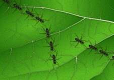 Ants on leaf. A row of marching ants and three of them waking away from it Stock Photography