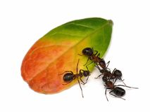 Ants on leaf. Forest ants and leaf of cowberry Royalty Free Stock Image