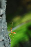 Ants Royalty Free Stock Photos
