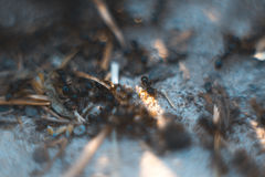 Ants macro with blurred background. Royalty Free Stock Photos