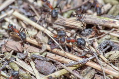 Ants macro Royalty Free Stock Images