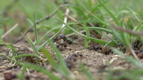 Ants Macro Video. Ant nest, Big black ants near the nest. Macro insects video stock video footage