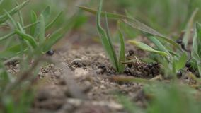 Ants Macro Video. Ant nest, Big black ants near the nest. Macro insects video stock footage