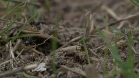 Ants Macro Video. Ant nest, Big black ants near the nest. Macro insects video stock video