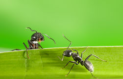Ants meeting on grass Stock Photo