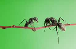 Ants meeting Stock Image