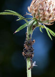 Ants milking plant lice Royalty Free Stock Images