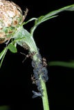 Ants milking plant lice Stock Photo