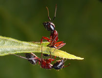 Ants mirrored wrong. Garden ants sitting on a leaf, perfect lighting and sharpness Stock Photography