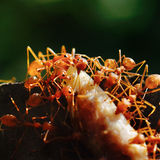 Ants move some food into Ant's nest Royalty Free Stock Photography