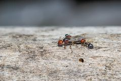 Ants moving close up. Ants and queen close up on trunk stock image