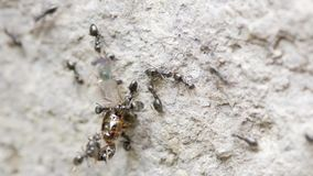 Ants moving a dead bee stock video footage