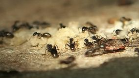 Ants moving their larvae and eggs, close frame stock video