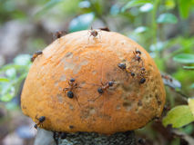 Ants on mushroom Royalty Free Stock Photo