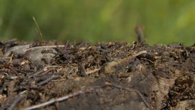 Ants in nature. Teamwork: Black and Red Ants on Wooden Surface with Stones. ants marching on a branch Royalty Free Stock Image