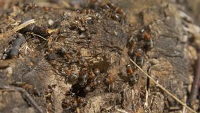 Ants in nature. Teamwork: Black and Red Ants on Wooden Surface with Stones. ants marching on a branch Stock Photos