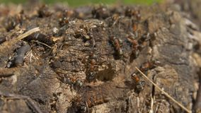Ants in nature. Teamwork: Black and Red Ants on Wooden Surface with Stones. ants marching on a branch Royalty Free Stock Photo