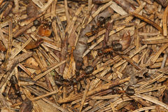 Ants in needles royalty free stock images