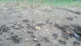 Ants nest macro stock video footage