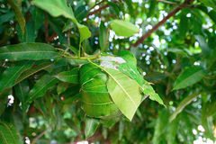 Ants' nest. Made by joining together green leaves of a tree Stock Image