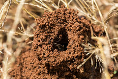 Ants in the nest. Nature ants royalty free stock image