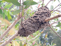 Ants nest in a tree Royalty Free Stock Photography