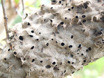 Ants nest in a tree Stock Photography