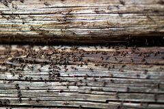 Ants nest in wood - Fire ants crawling on the wooden old house royalty free stock photos