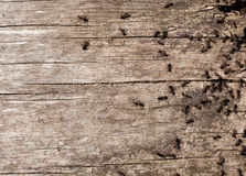 Ants on old timber Royalty Free Stock Photos
