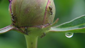 Ants on a peony Bud stock video footage