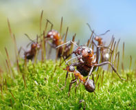 Ants protect little ones. Ants formica rufa protect little ones Stock Photos