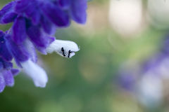 Ants on purple and white fluffy flowers Royalty Free Stock Image